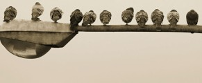 Photo of birds perched atop a street lamp - ten facing away and one facing the camera